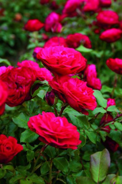 rouge meilove rose
